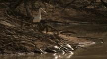 Spoonbill And Turtles On Shore Of Water Hole