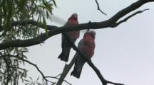Galah Cockatoos Perched On Tree Branch