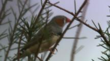 Zebra Finch Perched On Tree Branch, Flies Away