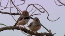 Zebra Finches Perched On Tree Branch, Fly Away