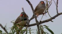 Zebra Finches Perched On Tree Branch