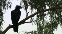 Wedge-Tailed Eagle Perched In Tree