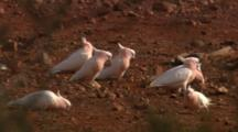 Major Mitchell's Cockatoos Forage On Ground