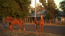 Horses Graze On Side Of Road In Town