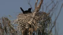 Bird On Nest, Possibly Little Black Cormorant