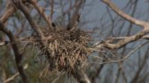 Bird On Nest, Possibly Little Black Cormorant