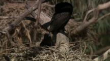 Baby Bird In Nest Calls To Parent, Possibly Little Black Cormorant