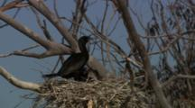 Two Chicks Annoy Parent For Food, Possibly Little Black Cormorant