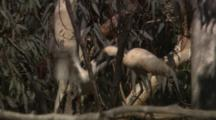 Royal Spoonbill Feeds Chick