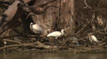 Royal Spoonbills At Water Hole