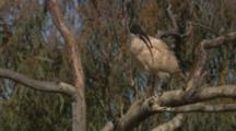 Bird, Possibly Australian White Ibis, Perched In Tree