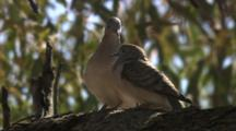 Birds, Possibly Peaceful Doves, Interact In Tree