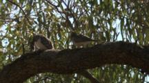 Birds, Possibly Peaceful Doves, Perched In Tree