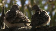 Birds, Possibly Peaceful Doves, Preen In Tree