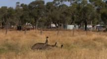 Emus Gather In Dry Grass Meadow Near Fence, Buildings