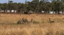 Emus Gather In Dry Grass Meadow, Next To Road, Buildings