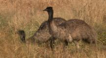 Emus Feed In Dry Grass Meadow