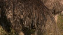 Emus Feed In Dry Grass Meadow, Close Up Of Feathers