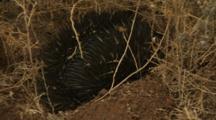 Echidna Digs In Burrow