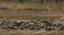Huge Flock Galah Cockatoos Takes Off, Lands, Feeds On Ground