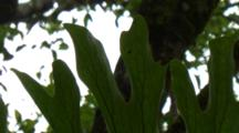 Staghorn Fern Leaves In Australian Rainforest