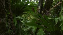 Staghorn Ferns In Australian Rainforest
