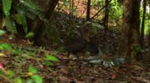 Australian Brush-Turkey Browses On Forest Floor