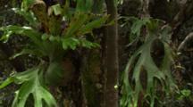 Close Up Staghorn Ferns In Rainforest