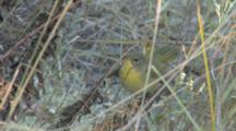 Common Yellowthroat Foraging Near Ground