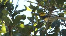 Black-Throated Green Warbler Foraging In Oak Tree