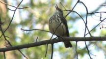 Louisiana Waterthrush Singing On Breeding Grounds