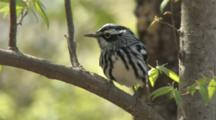 Black-And-White Warbler Singing On Breeding Grounds