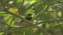 Kentucky Warbler Singing On Breeding Grounds