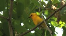 Prothonotary Warbler Singing On Breeding Grounds