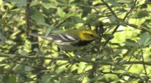 Black-Throated Green Warbler Foraging