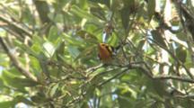 Blackburnian Warbler Foraging