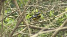 Magnolia Warbler Preening