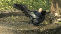Great-Tailed Grackle In Birdbath