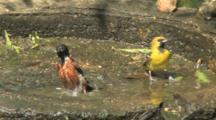 Orchard Orioles In Birdbath