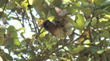 Bay-Breasted Warbler Foraging