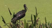 Glossy Ibis Preening