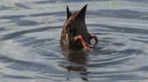 Mottled Duck Dabbling