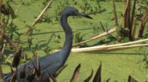 Little Blue Heron Walking & Calling