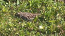 Savannah Sparrow Foraging On Ground