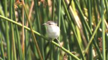Marsh Wren Snapping Bill At Insect