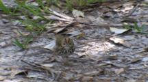 Ovenbird Foraging On Ground