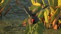 Common Moorhens Walking & Calling