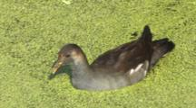 Common Moorhen Foraging While Swimming Through Duck Weed
