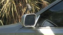 Gray Catbird Attacking Car Mirror