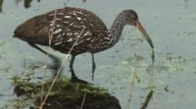 Limpkin Foraging In Marsh